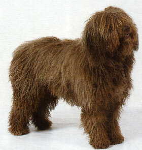 Испанская водная собака