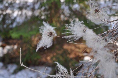 Княжик сибирский (Atragene sibirica) Автор фото: Владимир Брюхов