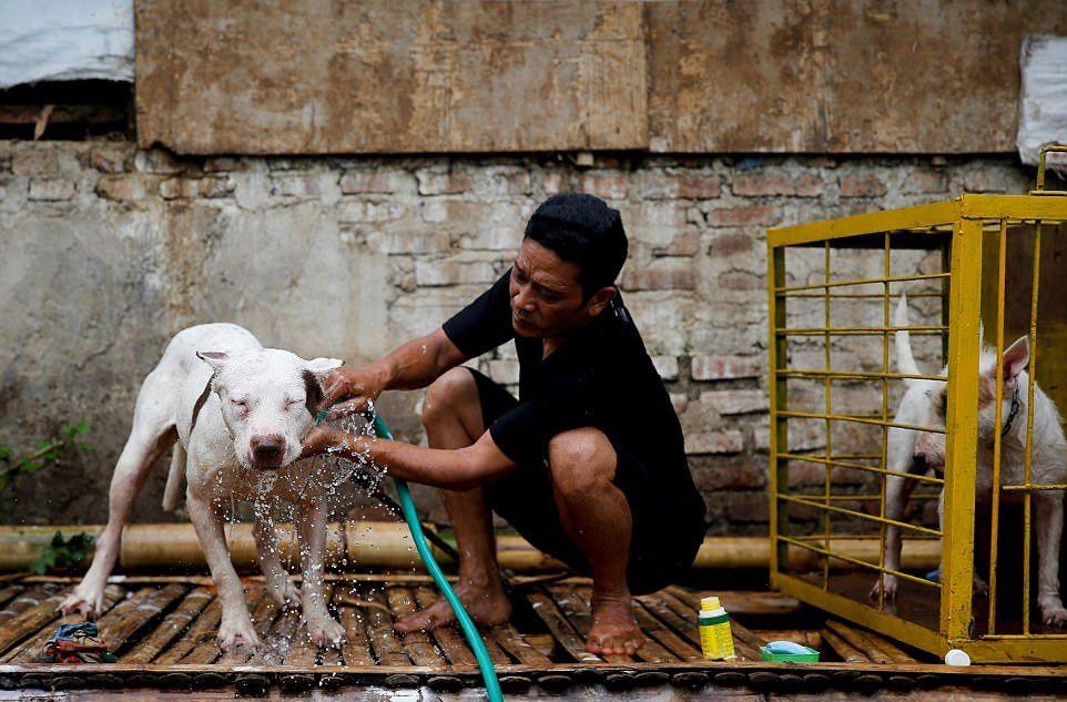 Смертельные бои собак и кабанов в Индонезии
