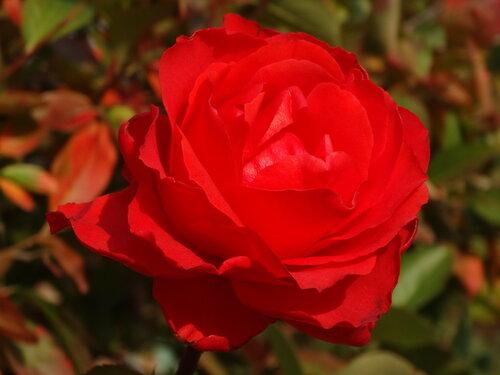 Осенняя роза...