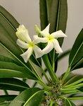 Пахиподиум Ламера - Pachypodium lamerei  (Мадагаскарская пальма).