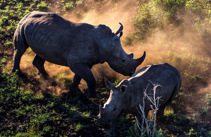 Смертельный бизнес: охота за рогом носорога (7 фото)