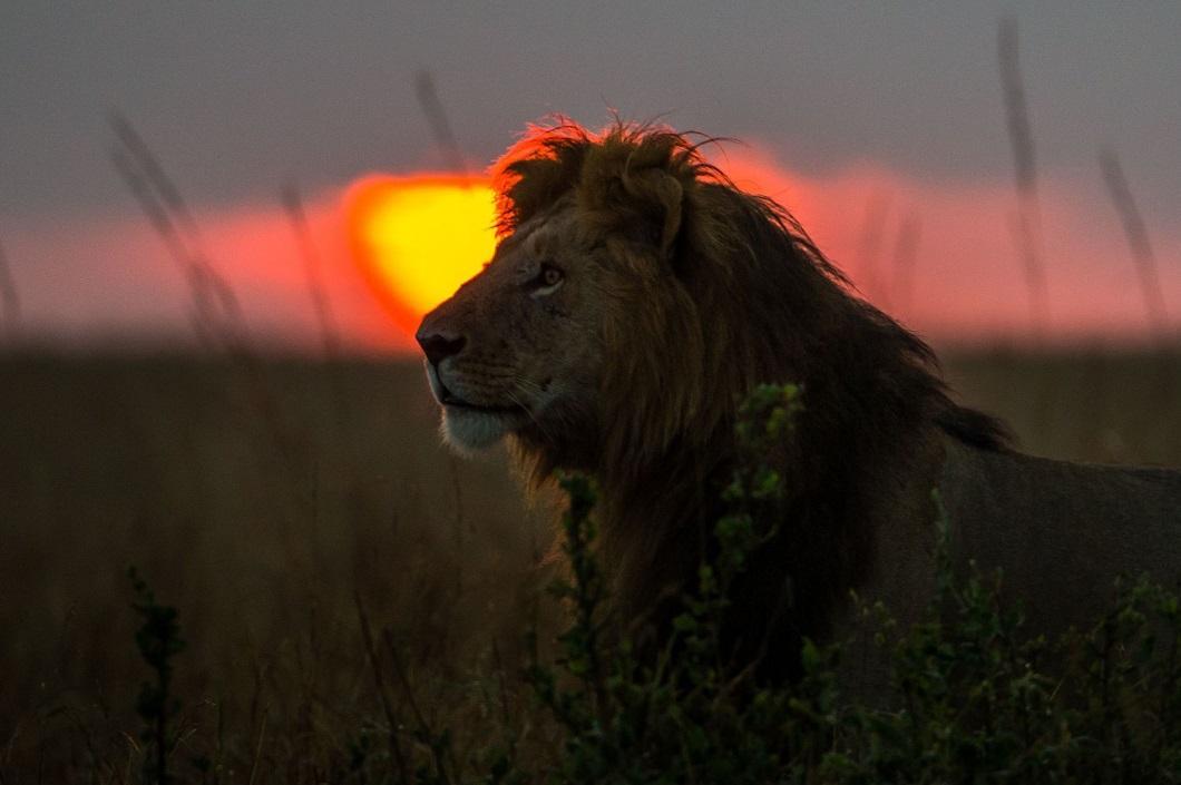 3. Лев на закате. (Фото: Пол Гольдштейн / Rex)