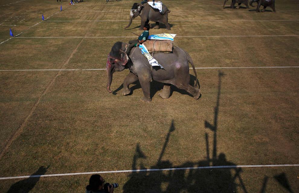 19. В бегах на слоновьем фестивале участвуют не только слоны. (Фото Navesh Chitrakar):