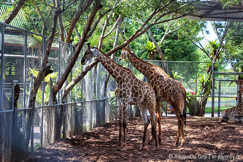 жирафы в парке камней паттайя
