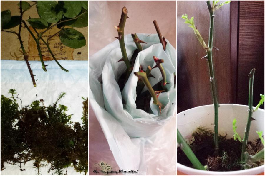 Как сохранить черенки роз до весны-собственный опыт