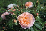 IMG_4443  роза флорибунда Зангерхаузер Юбиляумроз (Sangerhauser Jubilaumsrose) Kordes 2003.JPG