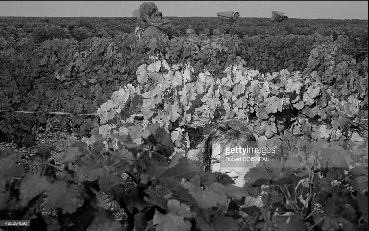 1992. Женщина во время сбора урожая винограда в Шато Лафит-Ротшильд в Пойяке. 30 сентября