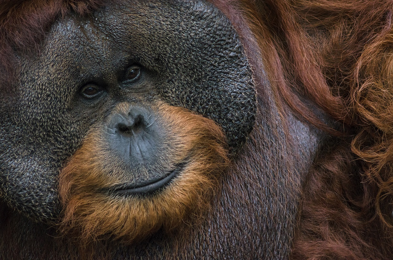 A Bornean orangutan. Photo by Ridwan