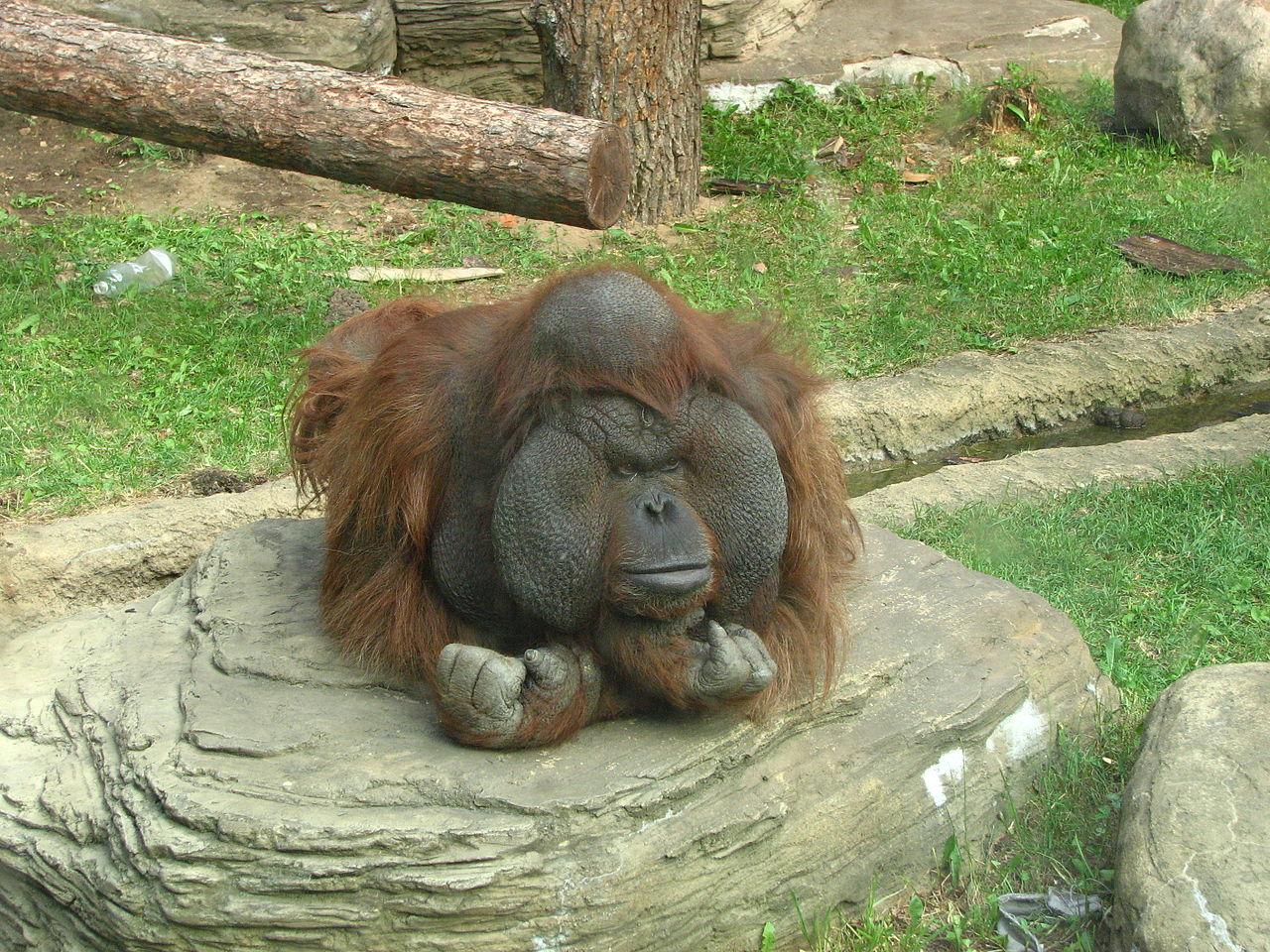 Калимантанский орангутан в зоопарке Москвы