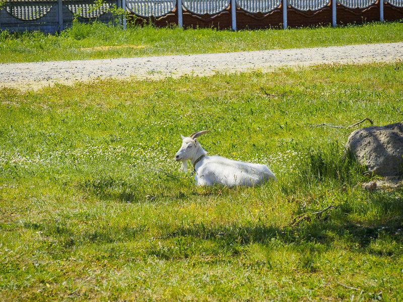 Ивановская коза