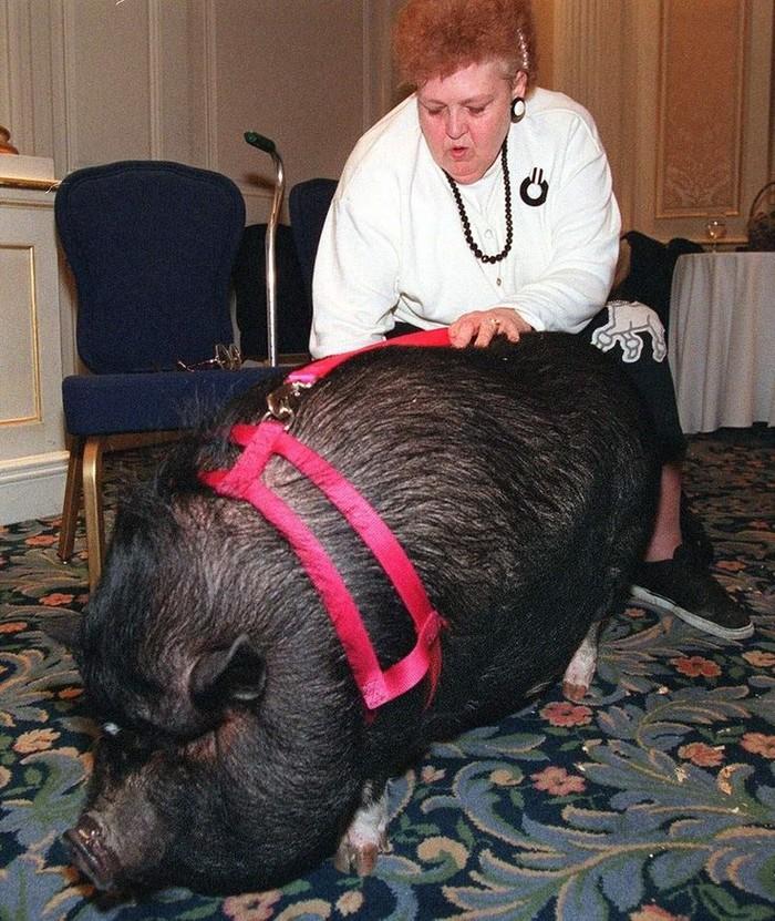 5. Домашняя свинья Лулу   Когда у Джоанн Алтсман случился сердечный приступ, она как подкошенна