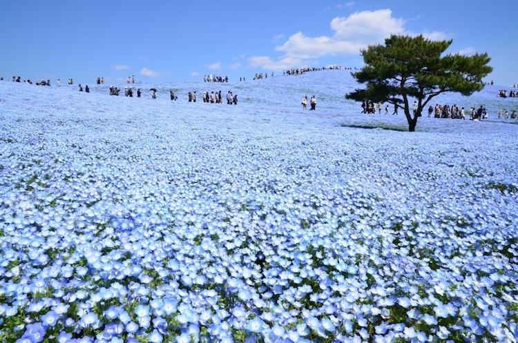 Где обитают феи: в японском парке распустилось 4,5 миллиона немофил