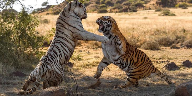 1. Тигр — один из четырёх представителей рода пантера. Эта большая кошка является одним из крупнейши