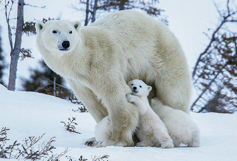 7. Последние исследования показали, что белый медведь отделился от их общего с бурым медведем предка