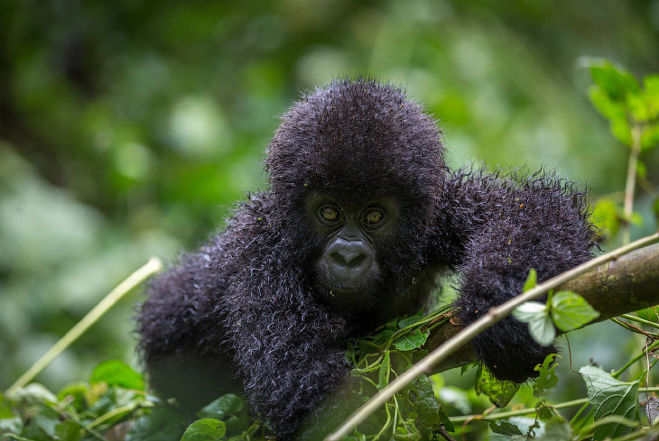 Горные гориллы: большие и вымирающие (17 фото)