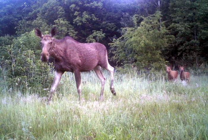 Самка оленя с олененком.