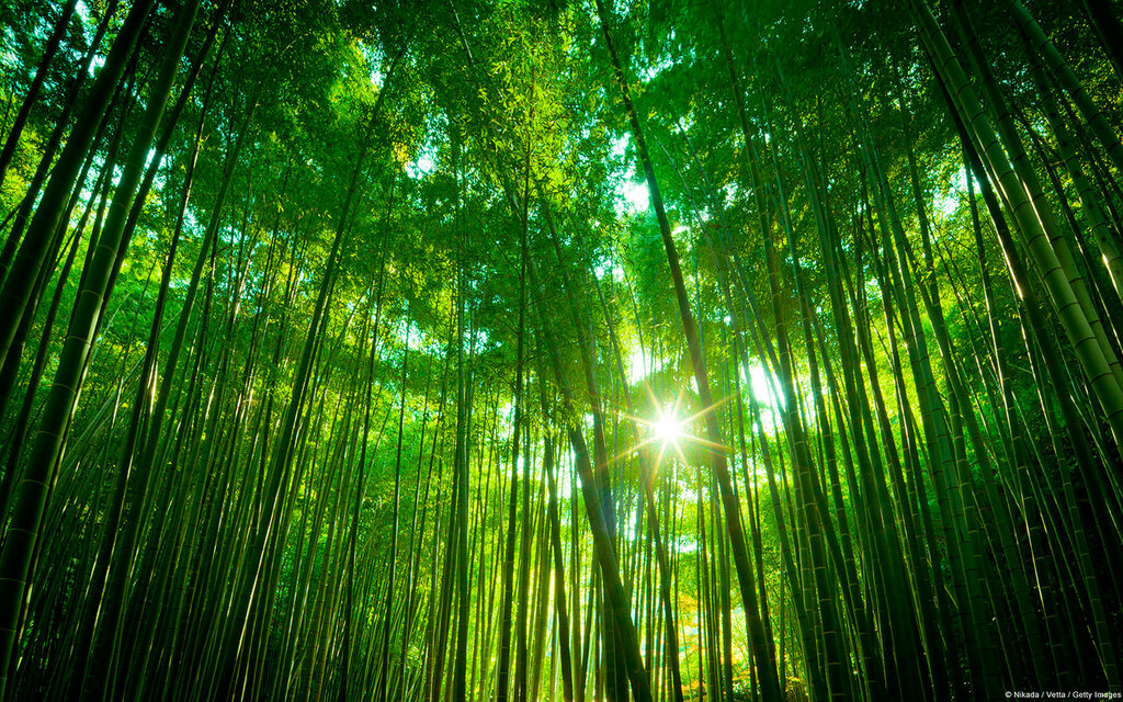 Asian Bamboo forest, Japan