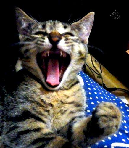 Большой рот котенка