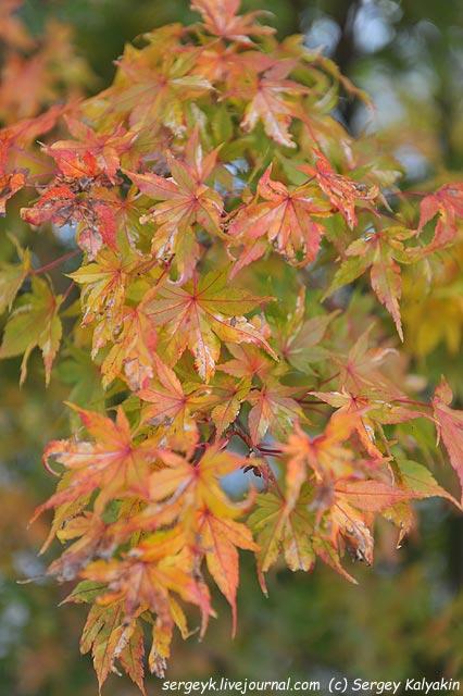 Acer palmatum Honoo.JPG