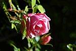 Lijiang Rose (hybride de gigantea)3.jpg