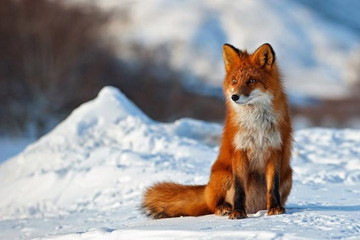 2. Если не считать сезона размножения, рыжие лисицы живут поодиночке и спят под открытым небом даже