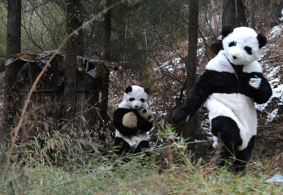 6. На данный момент в Китае насчитывается около 1 864 гигантских панд, живущих в дикой природе, и ещ