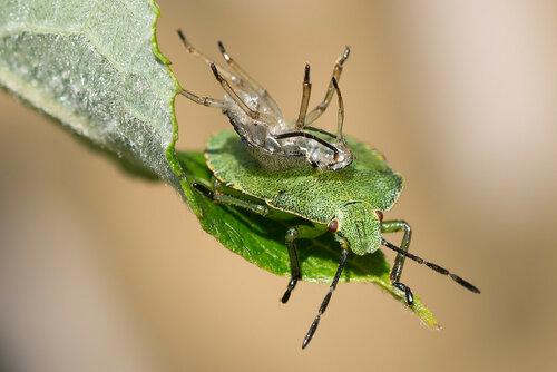 Альбом:  Мир под ногами / Полужесткокрылые - Hemiptera / Hemiptera - Клопы / Pentatomidae - Щитники Автор фото: Владимир Брюхов