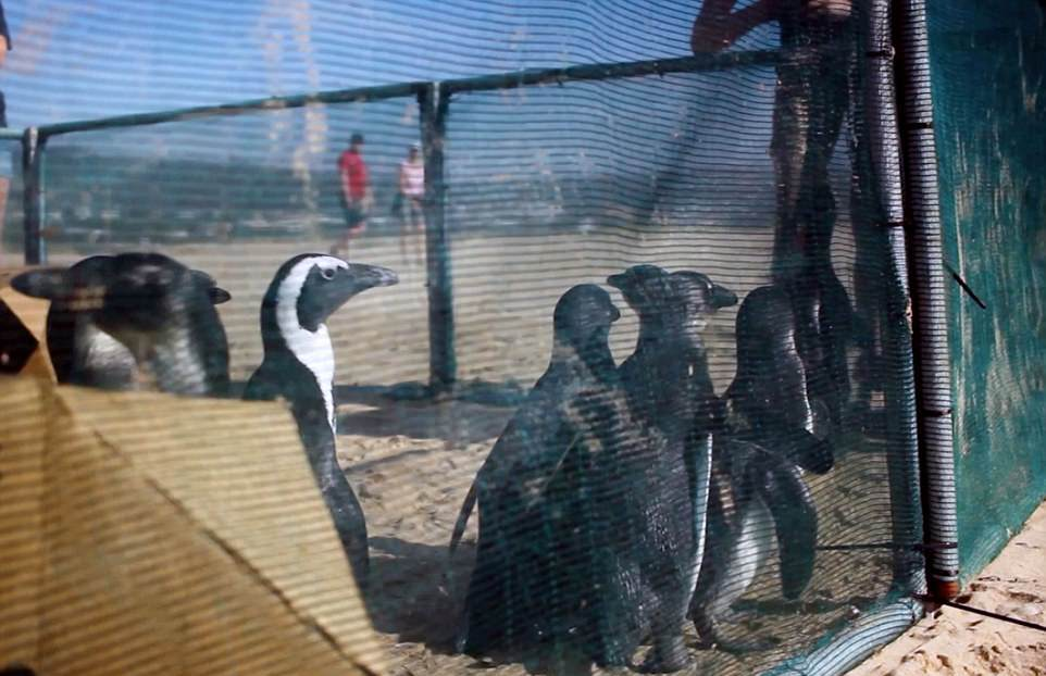 Пингвины прошли реабилитацию и выпущены в океан