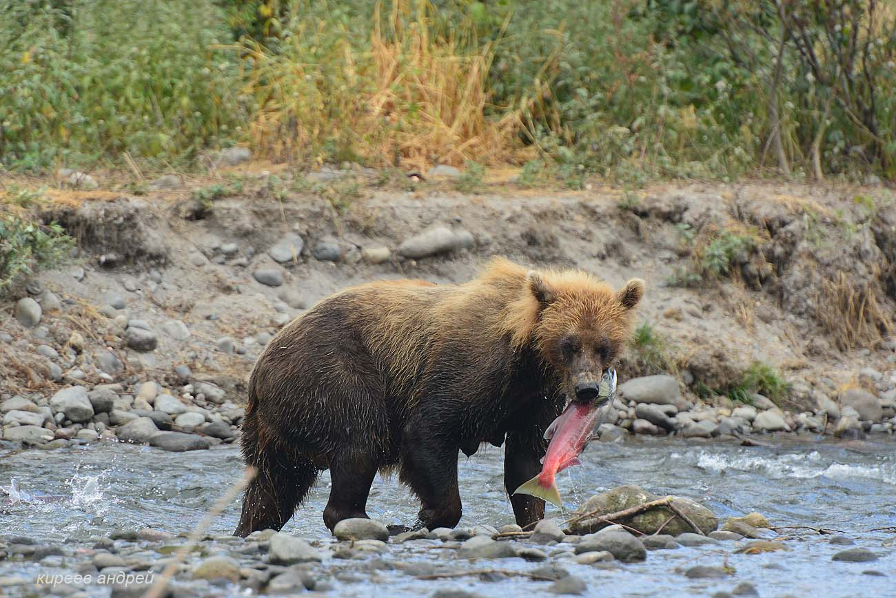 На медведя с фотоаппаратом!