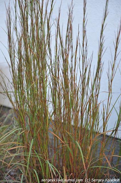 Andropogon gerardii Prairie Summer.JPG