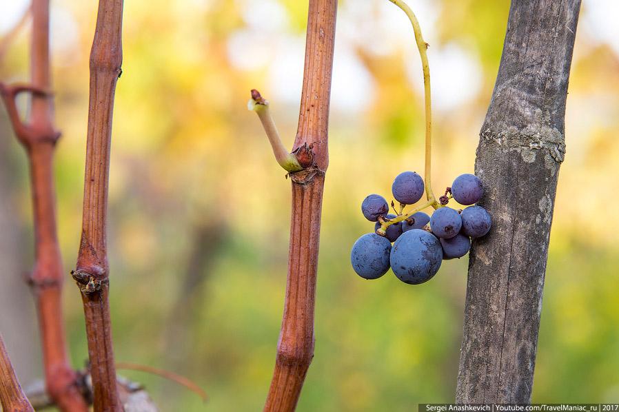 16. Это не виноград, если что. Не знаю, правда, что за плоды, но деревьев с ними здесь полным-полно.