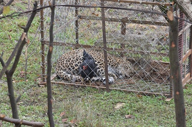 На фото видно, что храбрая птица чуть ли не стоит на хищнике и совершенно его не боится, а леопард с