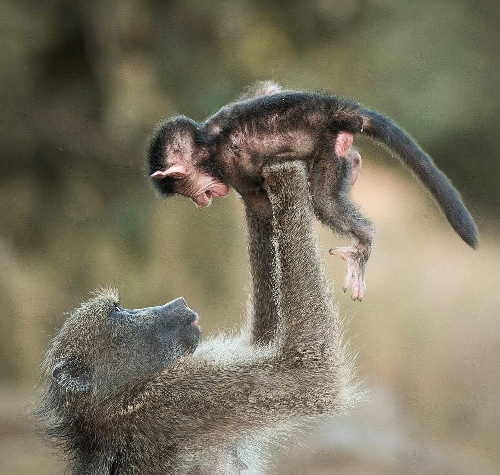24. Проверка на прочность. Слон против Фольксваген Polo. (Фото Armand Grobler):