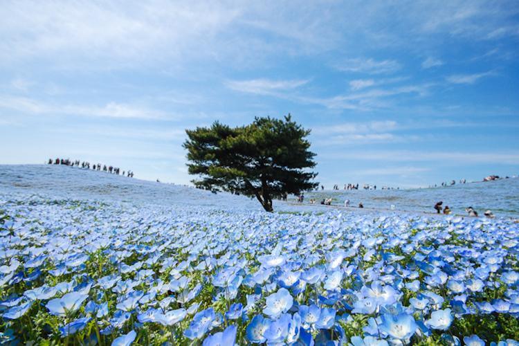 Где обитают феи: в японском парке распустилось 4,5 миллиона немофил (11 фото)