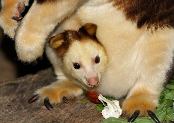 Самые красивые: древесные кенгуру Гудфеллоу