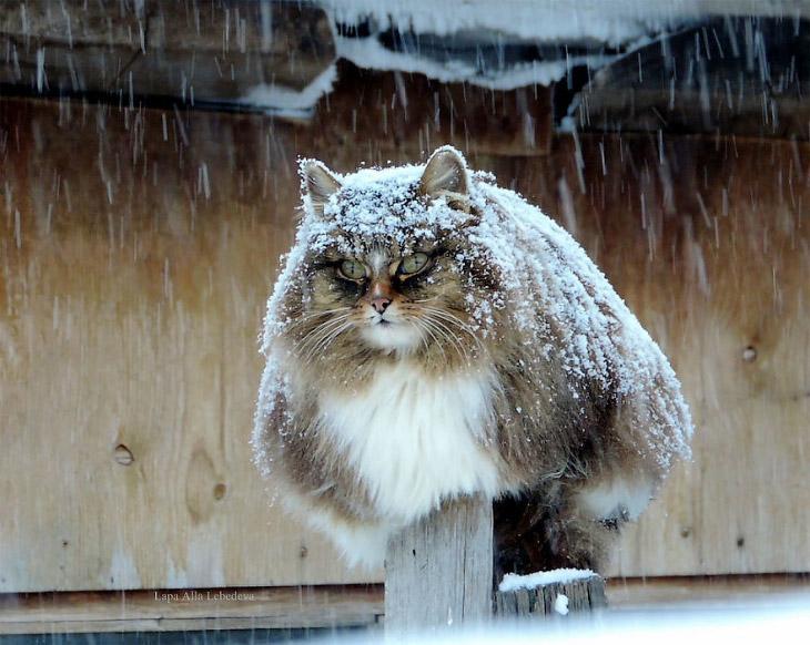 1. Живут все «миллион сибирских кошек» вместе с хозяйкой в поселке Пригородный, на окраине Барнаула