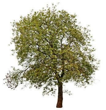 45306601-Осенью-дерево,-изолированных-на-белом-фоне.jpg