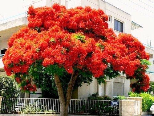 Делоникс королевский - одно из красивейших цветущих деревьев..jpg