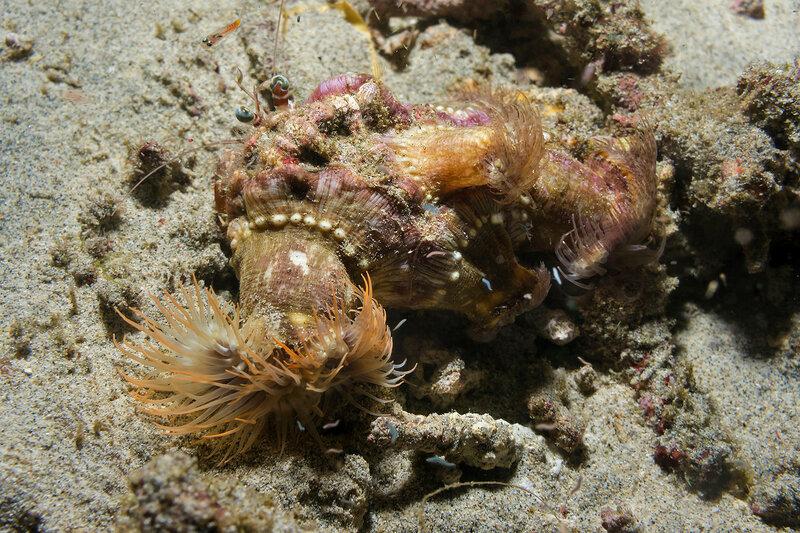 Calliactis polypus