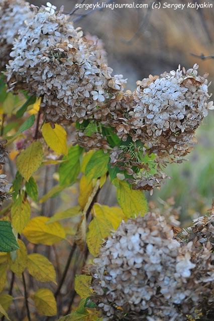 Hydrangea paniculata Limelight.JPG