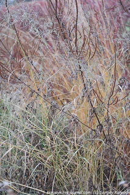 Veronicastrum virginicum Panicum virgatum.JPG