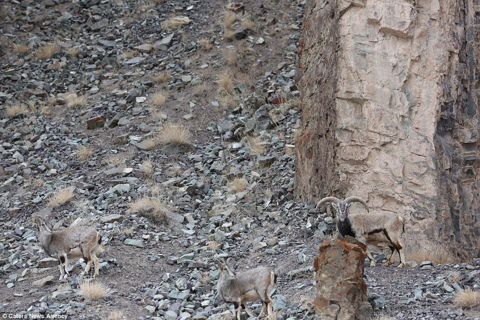 Вы видите на фото снежного барса? А он здесь - уникальные снимки охоты редкого хищника.