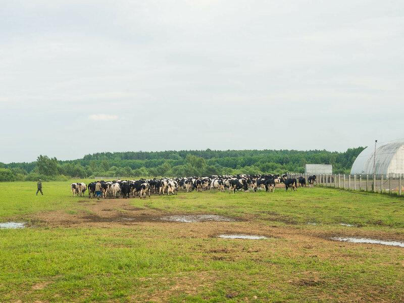 Колхозные коровы отправляются на ночлег.