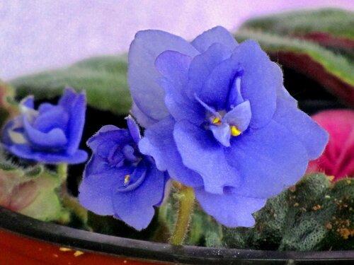 Голубые фиалки-сенполии