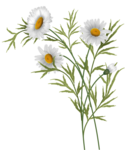 daisies vector-3.png