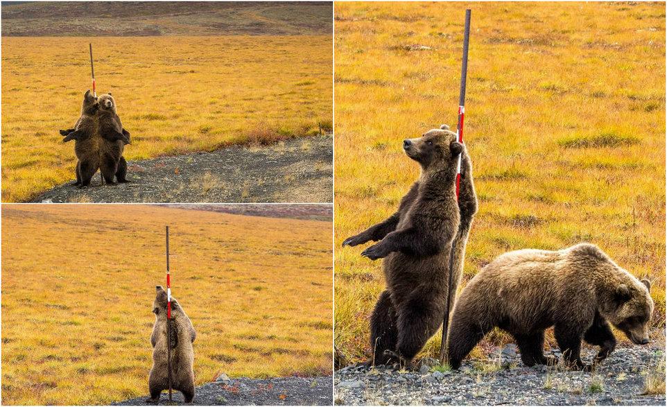 Медведи чешут спины о придорожный шест