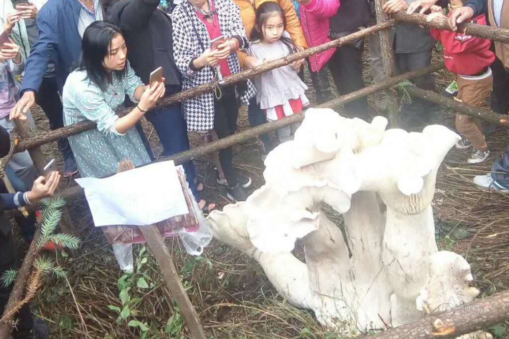 80-летний китаец нашел короля всех грибов