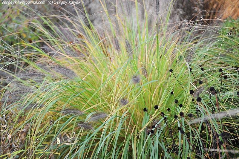 Pennisetum Viridescens Rudbeckia fulgida Goldsturm.JPG
