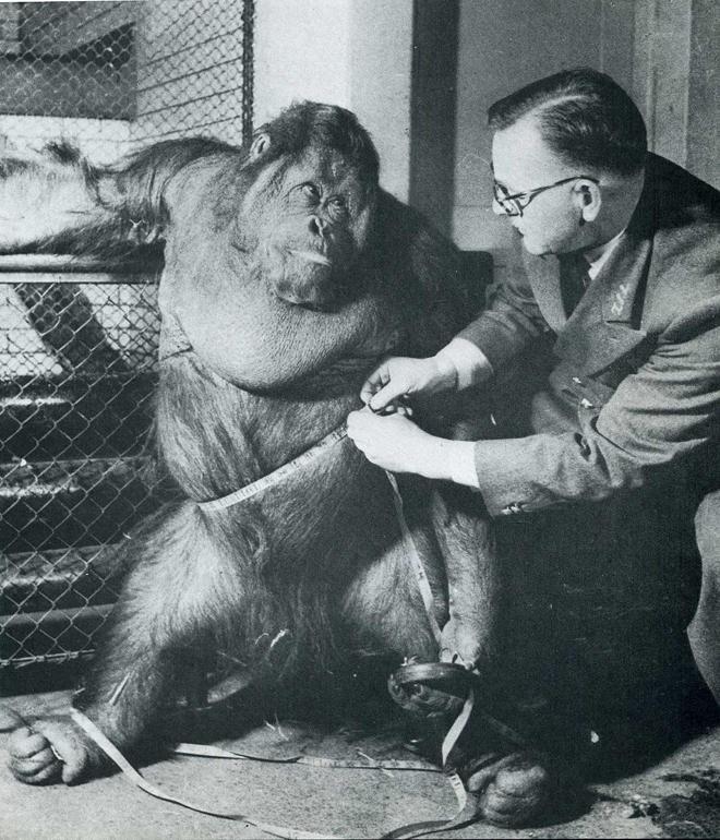4. Надеясь пристыдить орангутана за лишний вес и посадить на диету, Билл Пекетт, смотритель за обезь